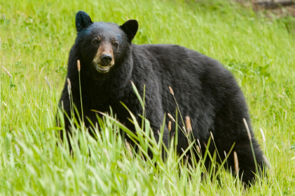 bear hunts,black bear hunts,brown bear hunting,bear hunting,trophy hunting