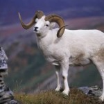 dall sheep hunting,hunting bighorn sheep,hunting guides,hunting outfitters