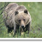 grizzly bear hunts,hunting grizzly bear,hunting guides,hunting outfitters