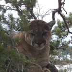 mountain lion hunting,hunting mountain lions,hunting guides,hunting outfitters