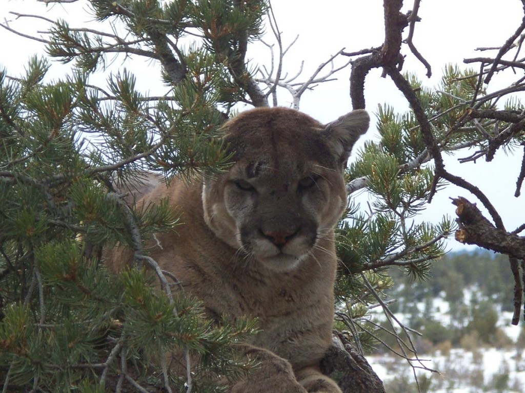 mountain lion hunting,hunt mountain lions,hunting guides,hunting outfitters