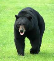 bear hunting,hunting black bear,hunting guides,hunting outfitters