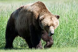 hunting brown bear,brown bear hunting,hunting guides,hunting outfitters