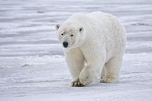 polar bear hunting,hunt polar bear,hunting guides,hunting outfitters