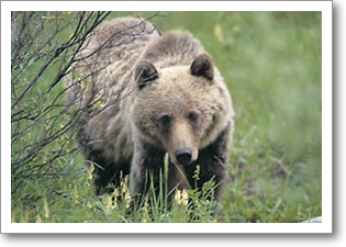grizzly bear hunting,hunting grizzly bear,hunting guides,hunting outfitters