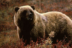 grizzly bear hunting,hunt grizzlies,hunting outfitters,hunting guides