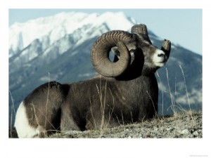 bighorn sheep hunting,hunting rocky mountain sheep,fnaws,hunting guides,hunting outfitters