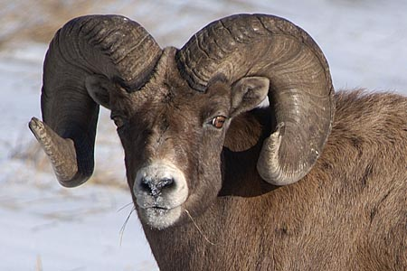 bighorn sheep hunting,california bighorn sheep,hunting guides,hunting outfitters