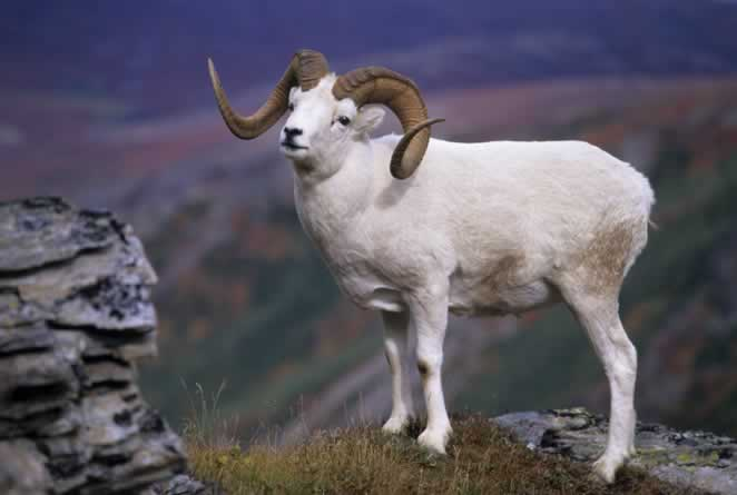 put this sheep high on your