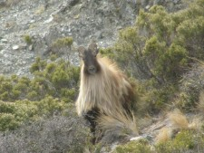 tahr hunting,hunting new zealand,hunting guides,hunting outfitters